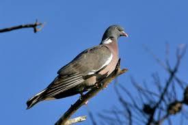 comment cuisiner des pigeons pigeon cuisine française