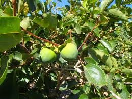 fruit trees in las vegas home design inspirations