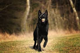 belgian shepherd health problems 7 things you didn u0027t know about the black german shepherd animalso