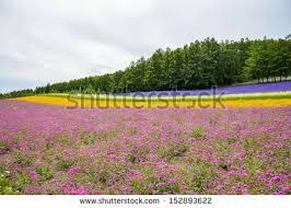 beautiful lavender field hill hokkaido japan stock photo 663327424