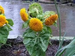 teddy sunflowers helianthus annuus teddy teddy sunflower