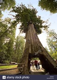 Chandelier Tree California Tourists Posing And Taking Pictures Drive Thru Redwood Tree