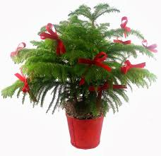 popular christmas plants and their care north raleigh florist