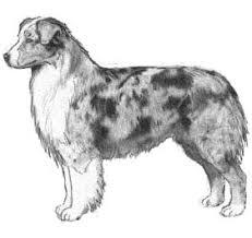 australian shepherd neck size shalako australian shepherd illustrated breed standard neckandbody