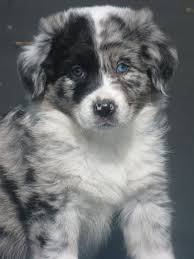 what does a australian shepherd look like the 25 best blue eyed dog ideas on pinterest fluffy dogs cute