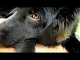 belgian sheepdog youtube 15 best belgian sheepdogs best dogs ever images on