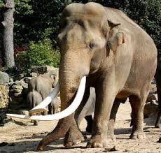 elephant hybrids mammalian hybrids