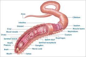 earthworm anatomy biology atlas pinterest earthworms and anatomy