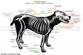 Dog Tooth Anatomy Dog Bone Anatomy Human Anatomy Library