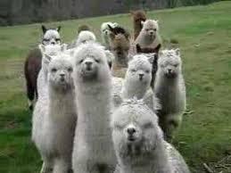 Alpaca Sheep Meme - alpaca approach youtube