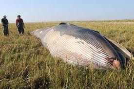 mammiferi volanti insolitanotizia raro esemplare di balena trovato in un co