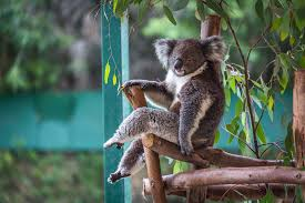 adorable facts you need to know about the koala wow amazing