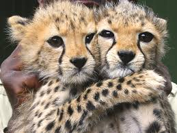 cute cheetah photos cheri marie cullen photo 34640143 fanpop