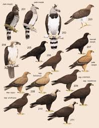 stellers sea eagle wallpapers steller u0027s sea eagle clipart philippine eagle pencil and in color