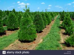 agriculture christmas trees at a christmas tree farm