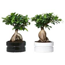 ficus microcarpa ginseng plant with pot ikea