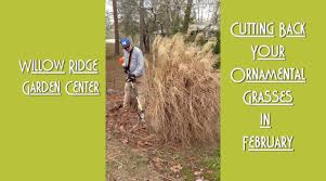 how to trim ornamental grasses for the willow ridge