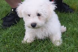 bichon frise breed standard bichon frise puppy 3 months old youtube