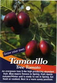 Tomato Tree Tamarillo Tree Tomato Buy Tamarillo An Evergreen Tree 2 4m High