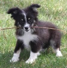 australian shepherd price price range 500 900 toy australian shepherds 2 males and 1