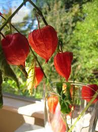 lantern flower beautiful flowers lantern flowers pictures meanings