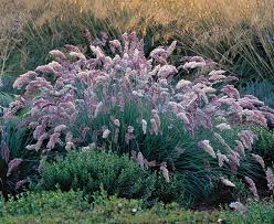 302 best no mow grasses images on ornamental grasses