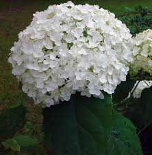 hydrangea white hydrangea identification