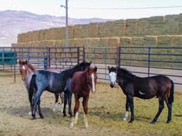 mustang horse adopt a wild horse expert advice on horse care and horse riding
