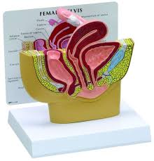 Anatomy Of Reproductive System Female Male U0026 Female Reproductive System Models Reproductive System