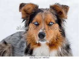 australian shepherd with blue eyes australian shepherd eyes stock photos u0026 australian shepherd eyes