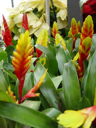 Tropical Plants Pictures - put away poinsettia and try these bright tropical plants u2013 orange