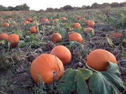 Pumpkin Patch St Louis Mo by Harvest Days Corn Maze And Pumpkin Patch Kids Out And About
