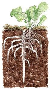 cover crops in the garden gardens garden ideas and vegetable garden