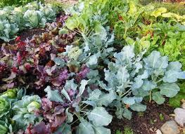 vegetable garden plants dunneiv