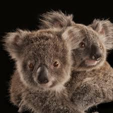 koala national geographic