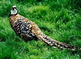ornamental pheasants etc flickr
