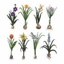 flower bulbs at best price in india