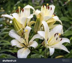 beautiful lily flowers garden stock photo 563401645 shutterstock