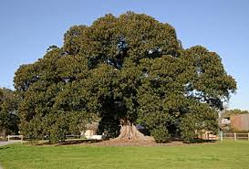 10 australian native trees