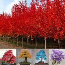 30pcs japanese maple tree bonsai seeds acer palmatum atropurpureum