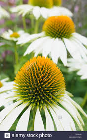 echinacea flower purple coneflower echinacea echinacea purpurea green edge