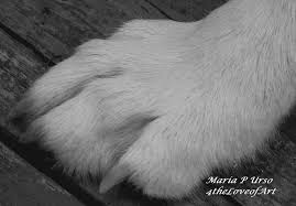 wolf paw photograph by urso
