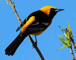 Utah birds images Utah bird profile hooded oriole jpg