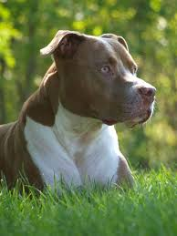 american pitbull terrier dog images 194 best pit bull terrier images on pinterest bull terrier pit