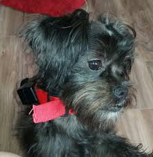 affenpinscher reviews pendleton pupcakes pet groomers 48 s main st pendleton or