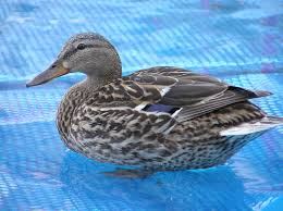 great backyard duck breeds the cape coop