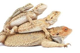 complete bearded dragon care 7 steps