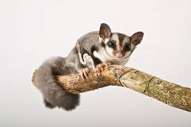 sugar glider care and what you should know about these animals
