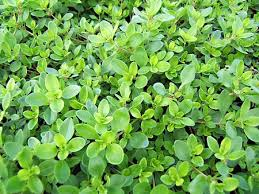 thym serpolet à planter thym en pot aromatiques