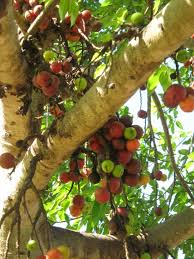 Blackmoor Fruit Trees - fig trees fig tree fruits pinterest fig tree and herbs
